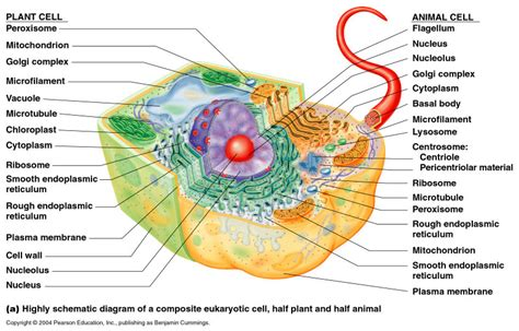 THE EUKARYOTIC CELLS  A Short Lecture  | OurHappySchool