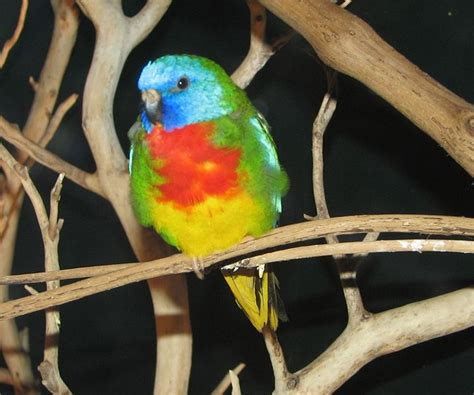 The Gorgeous Grass Parakeets   An Introduction to Some ...