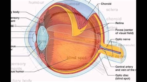 The Human Eye Parts And Functions   YouTube