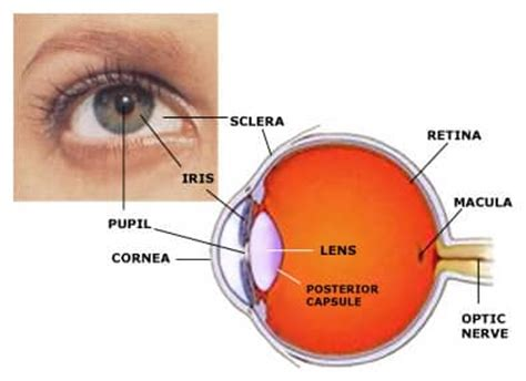 The Human Eye: Parts, Diseases, Accommodation ...
