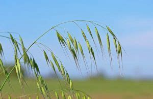 The Imtrader Ed.3   Wild Oats A Re emerging Problem ...