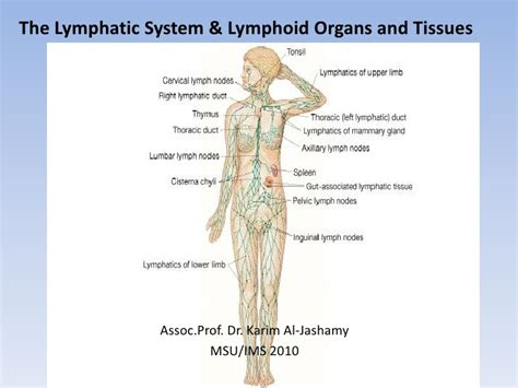 The Lymphatic System & Lymphoid Organs And Tissues