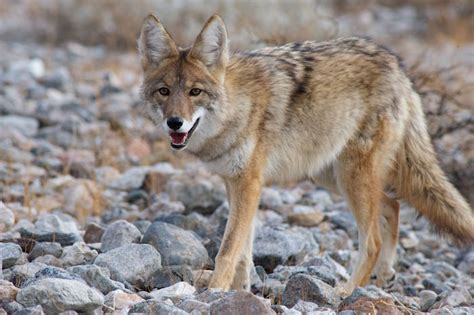 The meaning and symbolism of the word   «Coyote»