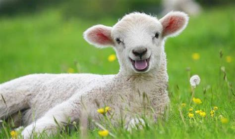 The meaning and symbolism of the word   «Sheep»