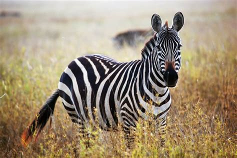 The meaning and symbolism of the word   «Zebra»