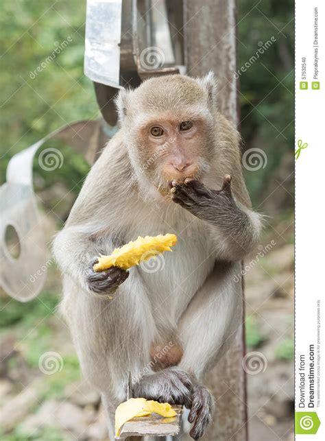 The monkey eating mango stock photo. Image of monkey ...