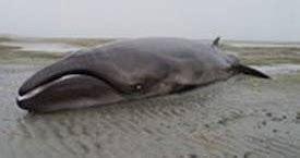 The Paranormalistics:  Extinct  Whale Species Found Alive
