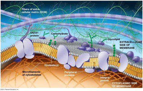 The Plasma Membrane: Structure : Anatomy & Physiology