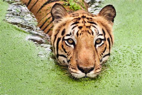 The Royal Bengal tiger   Bangladesh