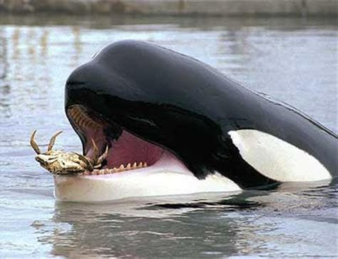 The Sheep Whisperer: Orca s Whale of a Tale!