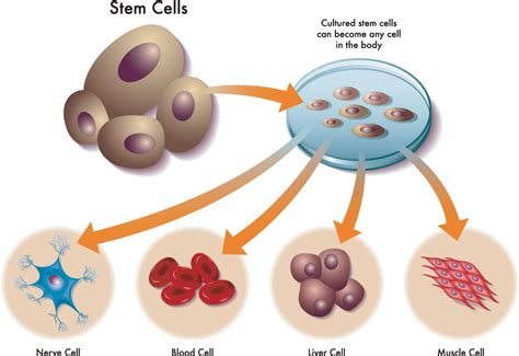 The state of the science in culturing totipotent stem cells