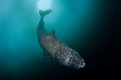 The Strange and Gruesome Story of the Greenland Shark, the ...