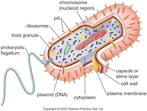 The structure of Prokaryotic Cell | ccyangyan