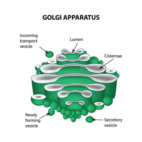The Structure Of The Golgi Apparatus. Infographics. Vector ...
