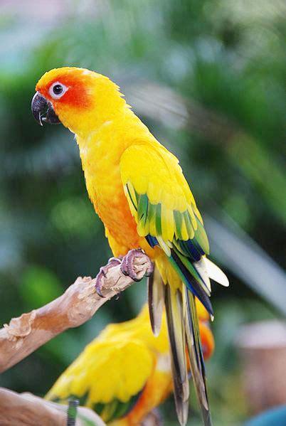The Sun Parakeet – Kaieteur News