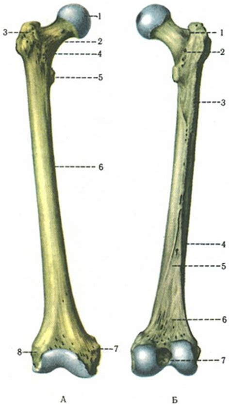 The thigh bone  femur  | Skeleton free lower limb ...