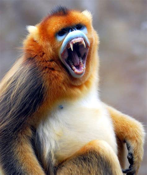 The Yunnan Snub Nosed Monkey   SNSH