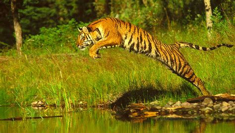 There are only 100 tigers left in Bangladesh   LifeGate