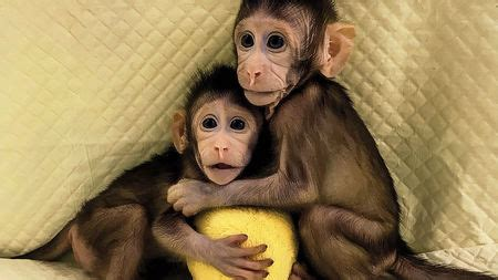 These monkey twins are the first primate clones made by ...