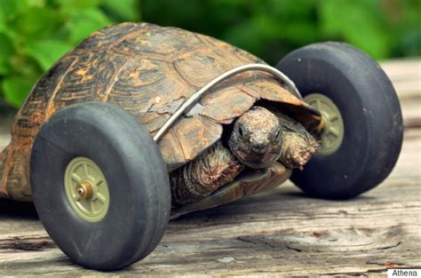 This Bad Ass Tortoise Is Doubling Its Normal Speed Because ...
