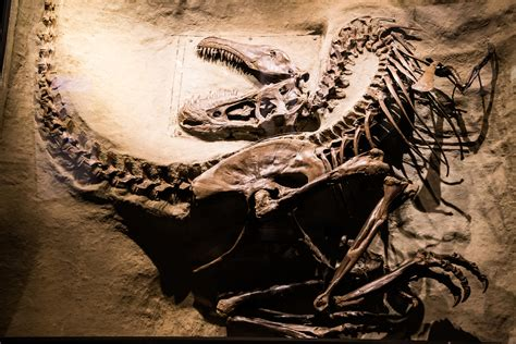 This is a picture of a real velociraptor skeleton at the ...