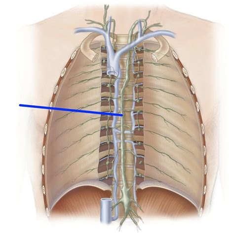 thoracic duct anatomy   ModernHeal.com