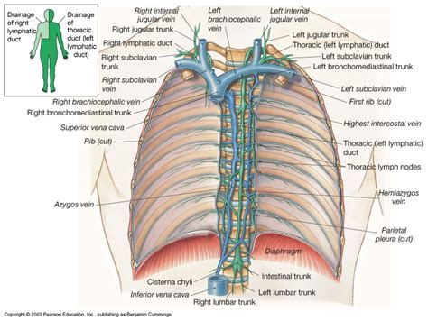 thoracic duct and right lymphatic duct   ModernHeal.com
