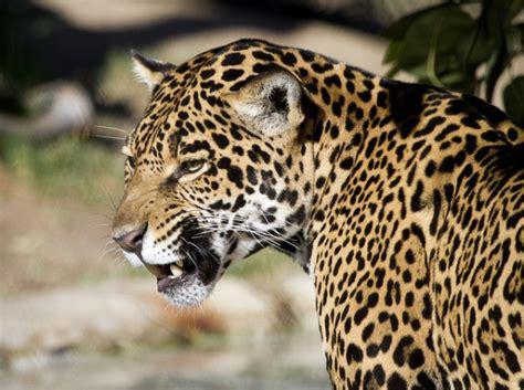 Three Year Old Boy Falls Into Jaguar Exhibit At Little ...
