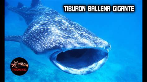 TIBURON BALLENA: Tiburon ballena mas grande del mundo ...