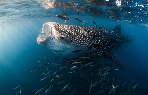 Tiburón Ballena: Tiburón ballena