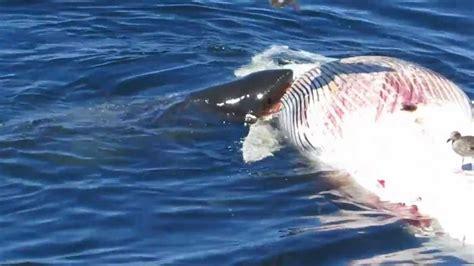 Tiburones Comiéndose una Ballena   YouTube