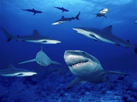 Tiburones en el mar   800x600 :: Fondos de pantalla y ...