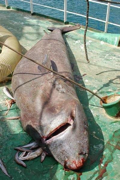 Tiburones en Galicia: Tiburón de Groenlandia  Somniosus ...
