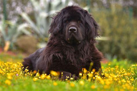 Tienda de animales perro terranova   El Jardín de Dama