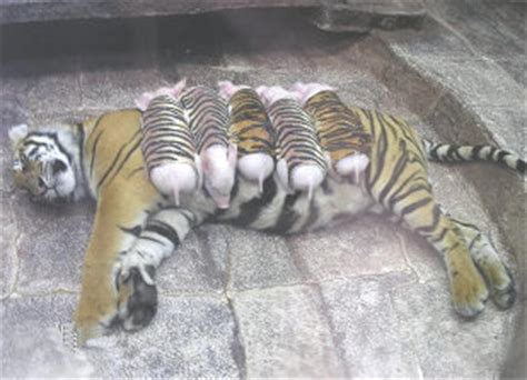 Tiger and Piglets   Cubs or Chops? Interesting facts ...