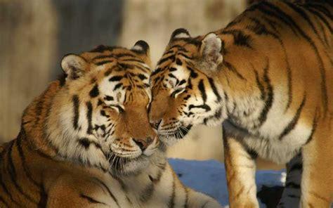 Tiger Communication   Tiger Zoo