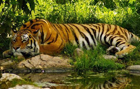 Tigers   Vagabond Images