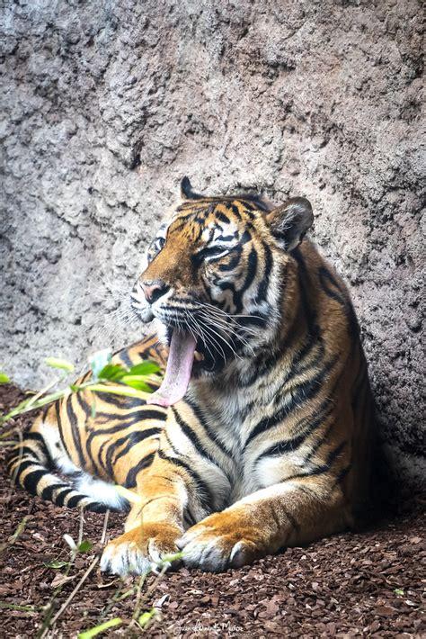Tigre de Sumatra. Bioparc Fuengirola   Juan Fernando Muñoz ...