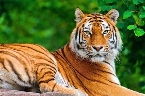 Tigres de Bengala podrían desaparecer de los Sundarbans de ...