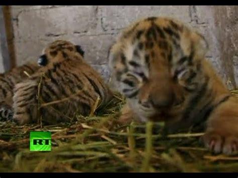 ¿Tigres siberianos o de Bengala?: nacen tres cachorros ...
