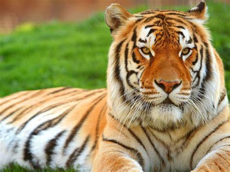 Tigres   Vol.4   22 Fotos    Imagenes y Carteles