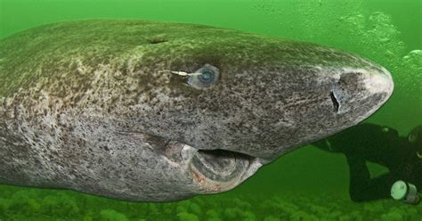TIL of a little known Greenland shark: A fearsome creature ...