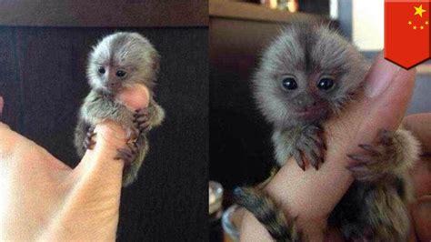 Tiny monkeys: thumb sized pygmy marmosets are China s ...
