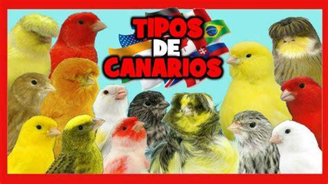 TIPOS de CANARIOS  RAZAS de CANARIOS  Canarios de Canto ...