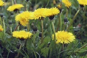 Tipos de malas hierbas de hoja ancha / Digfineart.com