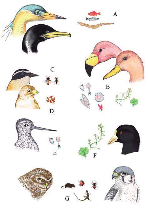 Tipos de picos y sus variaciones según la alimentación. A ...