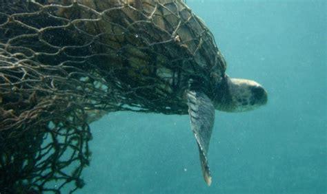 Todas las especies de tortugas marinas en Chile están con ...