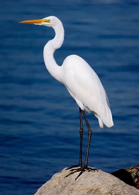 Todo sobre Aves Zancudas: Garza
