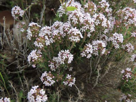 tomillo. Fichas de plantas en: http://www.elhogarnatural ...