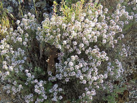 tomillo. http://www.elhogarnatural.com/aromaticas.htm ...